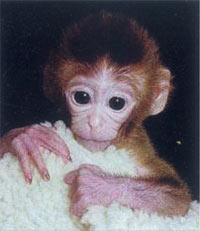 人类成功克隆猴