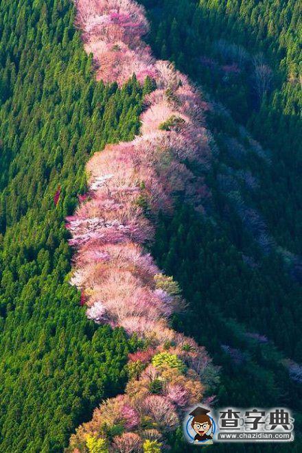 在日本奈良的野生樱桃树 搞笑图片图片