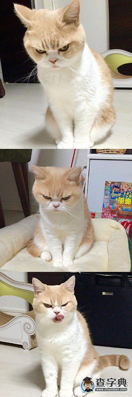 自带生气表情的猫咪,脸上一个大写的 滚 字